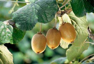 برنامه تغذیه کودی درختان کیوی