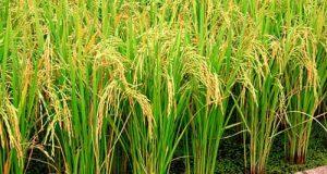 نقش سیلیسیم در برنج- کوددهی برنج