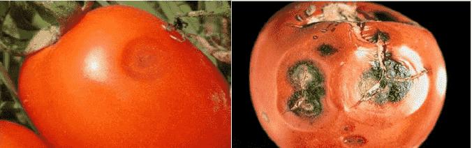 لکه سیاه گوجه فرنگی