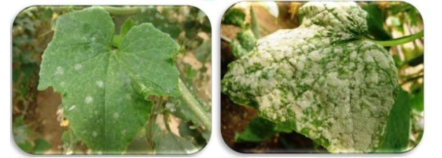 سفیدک پودری خیار