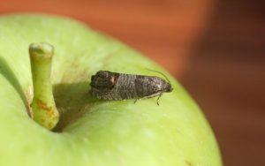فرمون جهت کنترل کرم سیب