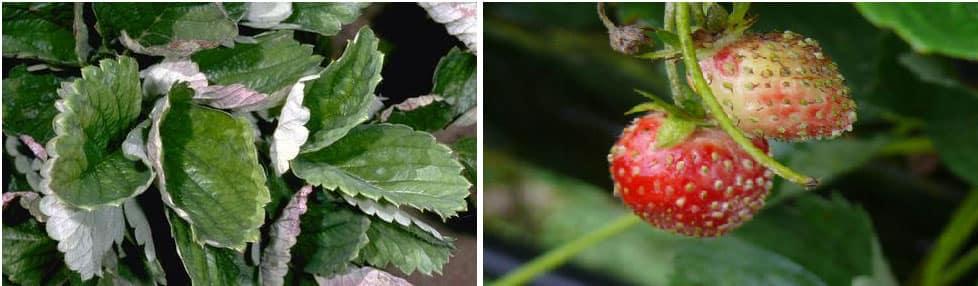 بیماری سفیدک پودری توت فرنگی