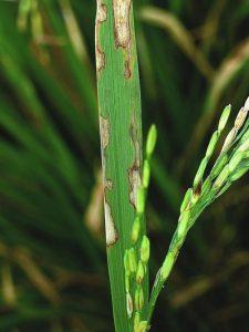 بیماری سوختگی غلاف برنج