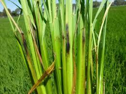 بیماری پوسیدگی ساقه برنج