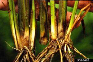 بیماری پوسیدگی طوقه برنج