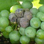 کپک خاکستری انگور