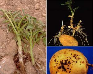 بیماری شانکر ریزوکتونیایی سیب زمینی
