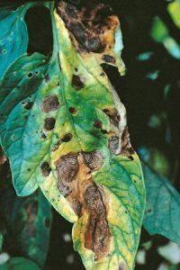 بیماری لکه موجی سیب زمینی