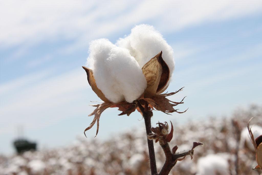 ایران در تولید بذر پنبه خودکفا است - شرکت رهروان رویش سبز rooyeshesabz.com